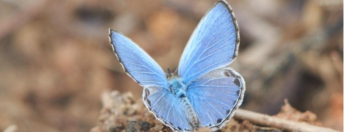 De Legende van de blauwe vlinder
