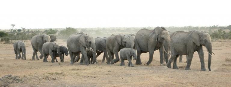 olifanten Greetje Komdeur
